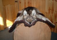 Coyote Rug  For Sale 425 Plus Tax
