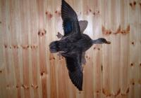 Black Duck Flying