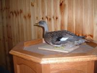 Charles Jones Gadwall Hen 2014