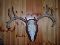 Whitetail Euro Mount 2014